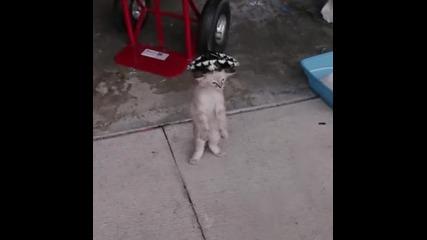 Коте танцува меренге