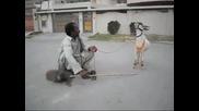 Дресирана коза прави трикове