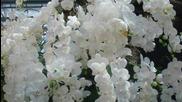 Will Glahe - Flori ,pentru penteni