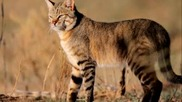 Прекрасната порода котки - Abyssinian