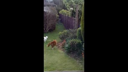 Котета прогонват лисица