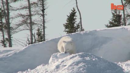 Сладко бебе полярно мече си играе за първи път със снега
