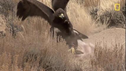 Скален орел срещу заек