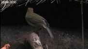 Life - The Vogelkop Bowerbird Nature