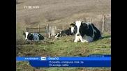 15 крави изгориха ток за 13 000 лева :d