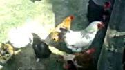 Tavuklar Cok Yumurtluyor 2019 Hd