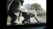 маймуни нападат кола и се Ебът
