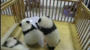 Малки Пандички се забавляват :)