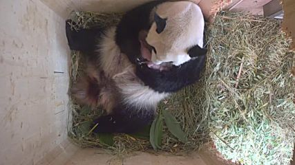 Austria: Rare giant panda gives birth to twins at Vienna zoo