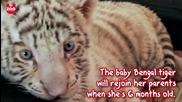 Сладур - Редки Бенгалски тигри