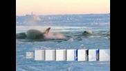 Косатки са блокирани в ледовете на залива Хъдсън
