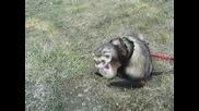 Ferret Love play
