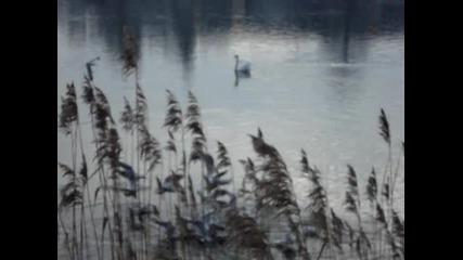 Красив Лебед