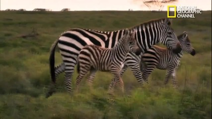 Зебра надбягва гепард !!!