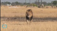 Lawyer: No Charge yet for 2nd Zimbabwe Lion Killing Suspect