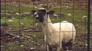Гери-никол Овца Аааа Ааа Аааа