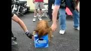 Смях, куче не си дава бирата