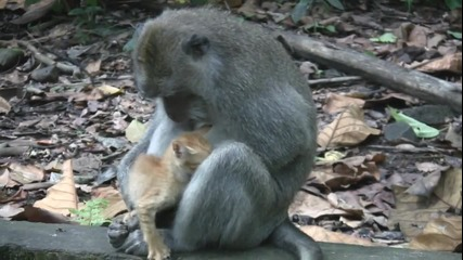 Маймуната приема оранжевото коте и го гушка като свое дете