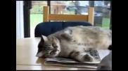 Смях!!! Шантава гугутка се гаври с котка. :)