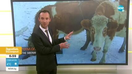 Къде кравите носят сутиени?