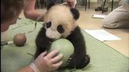 Сладка пандичка си играе с топка