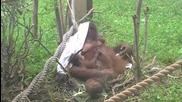Maruyama Zoo - Орангутан