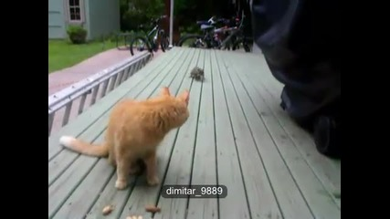 Катеричка краде от храната на котка