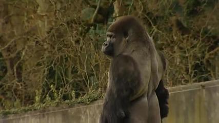 горилата която ходи на 2 крака