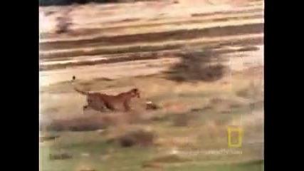 Бързият и яросният живот на Гепардите