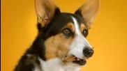 Doggie Dentures Pedigree Dentastix Ad !