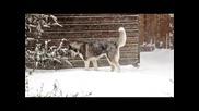 Хъски играе в снега