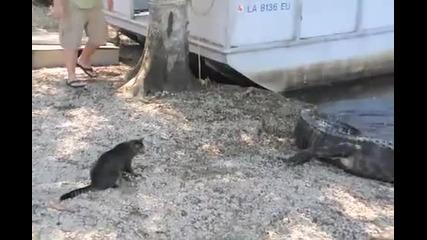 Котка срещу алигатор