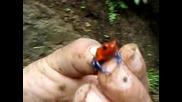 Една От Най - Отровните Жаби В Света