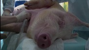 Russia: First Russian-made aortic valve successfully implanted in pig