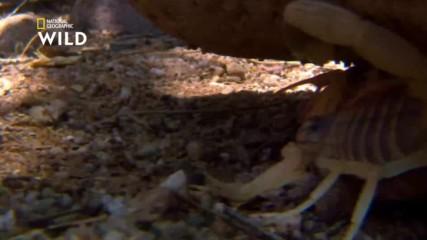 Смъртоносният ловуващ скорпион