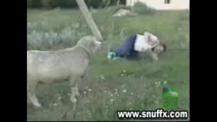 Смях Овца напада мъж.