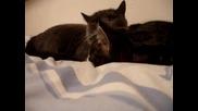 Много сладки 2 котенца