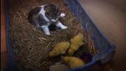 Невероятно! Котка се грижи за малки патета, които я приемат като майка!