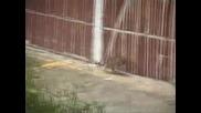 Плъх Напада Котки