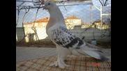 Много Красиви Турски Гълъби