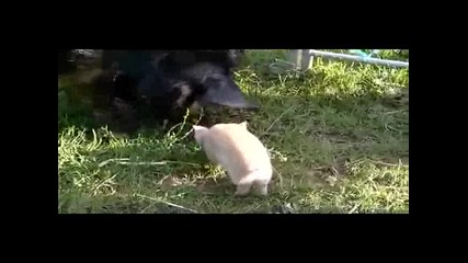 Горкото прасенце