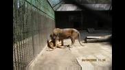 Оръфаният лъв в Благоевградския zoo