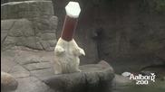 Забавлението на една полярна мечка...
