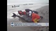 Изхвърлено на мексиканския бряг бебе кит бе спасено и върнато в океана