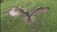 Полет на сова в забавен кадър - невероятно!
