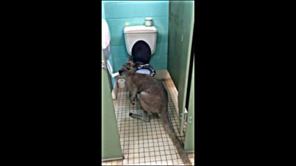Кенгуру похапва… тоалетната хартия