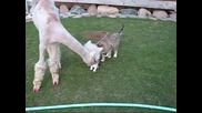 Лама се чуди на котки.. смях!!