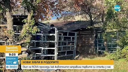 Зубрите в Източните Родопи станаха 11