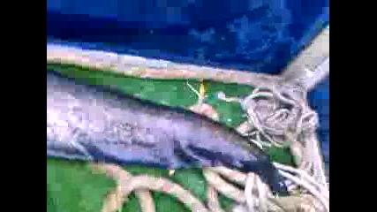 на риба на яз. искар - сом1