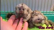 Малки Сладки Маймунки